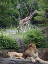 [ライオンとキリン]