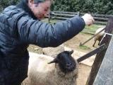 Ayabe_sheep